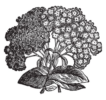 Heliotrope is a pink-purple tint that is a representation of the color of the heliotrope flower. Its flowers are frozen in flakes as shown in picture, vintage line drawing or engraving illustration. Ilustração