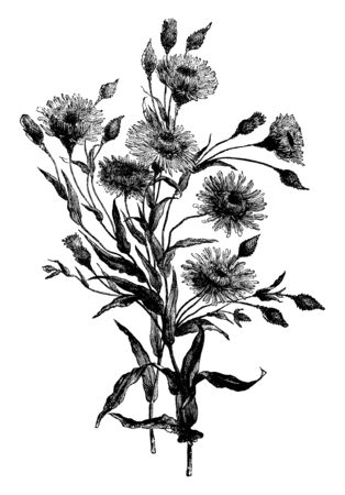 A Picture shows Podolepis Aristata Plant. Flower is looks like a sunflower and yellow flower with small pink florets. They are generally tall and its leaves are long, plain edges, vintage line drawing or engraving illustration.