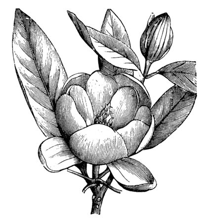 Magnolia Glauca has very aromatic white flowers. There are nine to twelve leaves per flower and there are large leaves around it, vintage line drawing or engraving illustration.