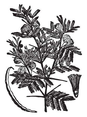 Acacia is a large of shrubs, leaves are divided into two leaflet, a large group of leaves develop modified flat leaf-like structures, flowers are rounded and they grow at the top of the plant, vintage line drawing or engraving illustration.
