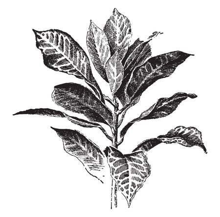 It is evergreen, woody plant. Simple leaves mottled with white, yellow, or red, vintage line drawing or engraving illustration.