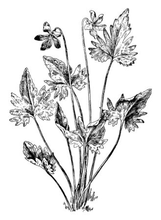 V. Palmata also known as wood violet is a perennial wildflower consists of a rosette of low basal leaves, occasional found in the southern half of Illinois. Flowers bloom from April to May, vintage li 일러스트