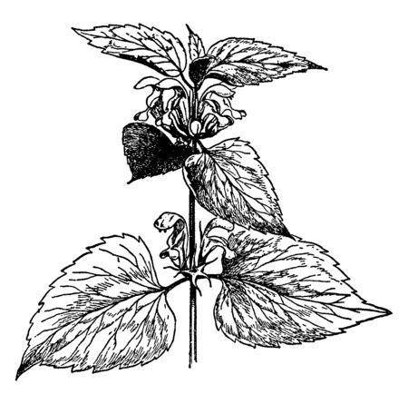 Lamium album is a flowering plant. Growing in a variety of woodland, on moist, fertile soils. It is a herbaceous perennial plant, vintage line drawing or engraving illustration. Stock Illustratie