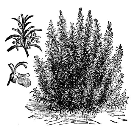 A picture, thats showing Rosemary. This plant is very dense and has needle like leaves. Flowers are blue. This is herb. This is from Lamiaceae family, vintage line drawing or engraving illustration. Иллюстрация