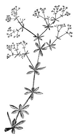 Rough bedstraw flower, that looks like a star. There are four petals, sepals in the flower. Leaves have no teeth or lobed, it looks blade, vintage line drawing or engraving illustration.