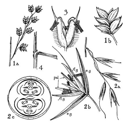 Gramineae is large flowering plant known as grasses. There are parts of it in this image, vintage line drawing or engraving illustration.