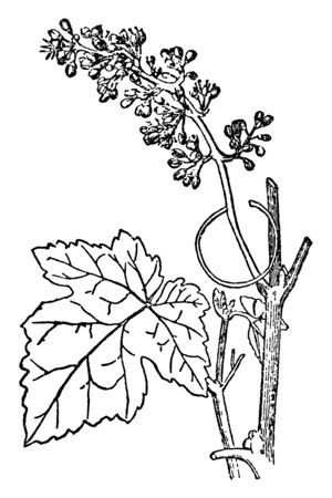 In this plant a group of leaves and flowers that grows up with the main branch, a vine displays a development form on the basis of long stems, vintage line drawing or engraving illustration. Иллюстрация
