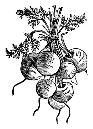 This is bunch of beet, the height of the plant is short, and stem is very short, vintage line drawing or engraving illustration.