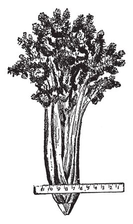 A growing celery plant needs a lot of water and the roots are trimmed into tapering cubes, vintage line drawing or engraving illustration. 向量圖像