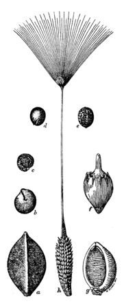 Generally the seeds that are eaten by birds are showing in different picture, vintage line drawing or engraving illustration.