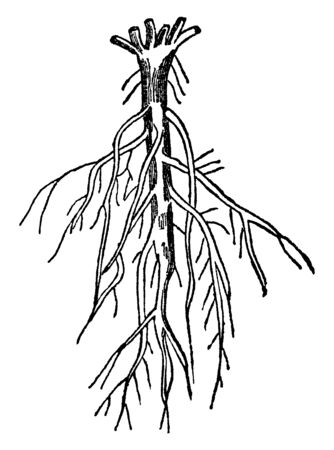 A picture of Branching roots which are subdivided into the earth in a similar way to the divisions of the stem and are found in the trees and shrubs of the forest, vintage line drawing or engraving illustration.