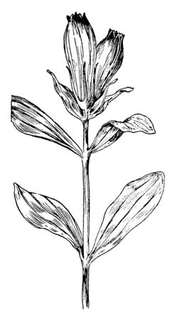 A picture is showing Striped Gentian, commonly known as Gentiana Villosa. This is an herbaceous perennial plant. The leaves are dark green and shiny. The flowers are white, vintage line drawing or engraving illustration. Imagens - 132902985