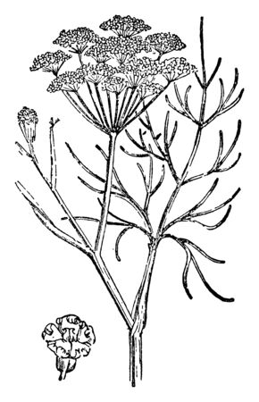 A picture is showing Fennel. It belongs to Carrot family. It is a hardy, perennial herb with yellow flowers and feathery leaves, vintage line drawing or engraving illustration.