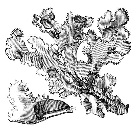 This is a picture of Iceland Moss and it is lichen. It grows in Iceland, vintage line drawing or engraving illustration. Illustration