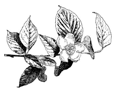 Stewartia Pentagyna is oval-shaped shrub. Few-clustered are trunked with strongly ascending branches. Large, showy, solitary, white flower with crimped and scalloped edges and numerous purple stamens, vintage line drawing or engraving illustration.