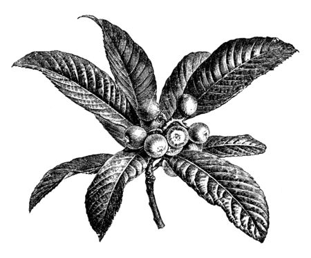 This is picture of Fruiting Branchlet of Photinia Japonica which is also known as Japan Medlar, Japan Quince, and Loquat used as ornament in Adelaide, South Australia, vintage line drawing or engraving illustration.