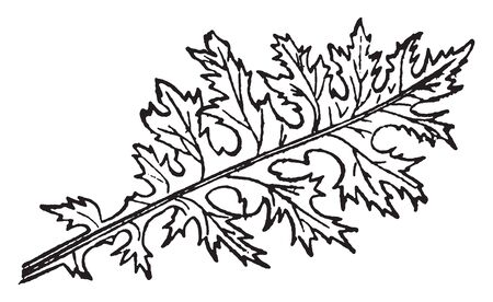 The leaves of acanthus are deeply cut sinuate. It is long single long leave, vintage line drawing or engraving illustration.