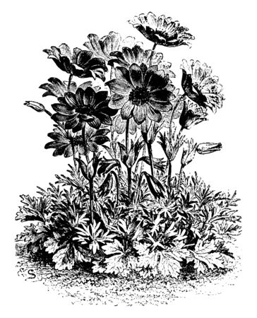 A picture is showing a plant of Anemone Fulgens Flower. The fulgens anemone flower is a dazzling scarlet with a central black patch of stamens. This flower grows in Greece and southern Europe, vintage line drawing or engraving illustration.