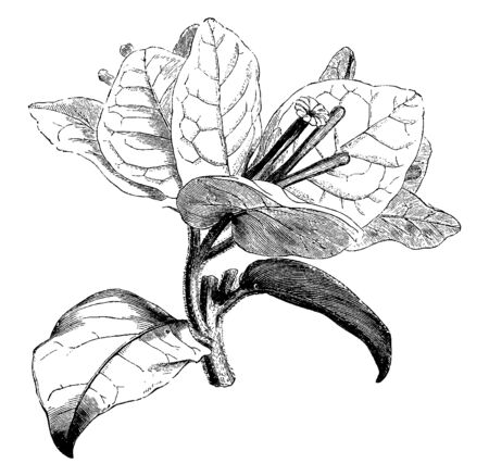 Bougainvillea Spectabilis is a wooded vine or shrub, with heart-shaped leaves and thorny, vintage line drawing or engraving illustration.