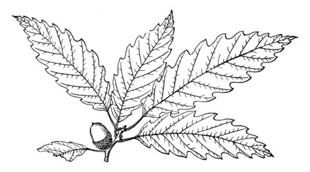 Picture of Quercus Acuminata branch. It is a long-lived oak, native to eastern and central North America and found from Minnesota. The leaves grow to be 5 to 8.5 inches long, vintage line drawing or engraving illustration. Stock Illustratie