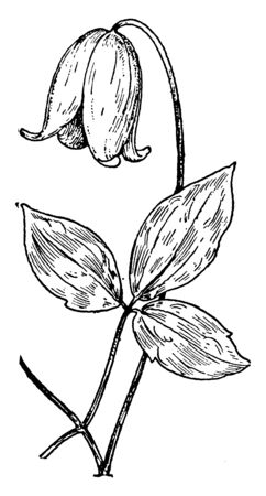 An illustration of flower and Leaf of Clematis Viorna. This is an evergreen vine, leaves alternate, pinnately divided; flowers with 4-8 petals-like parts of various colors, vintage line drawing or engraving illustration.