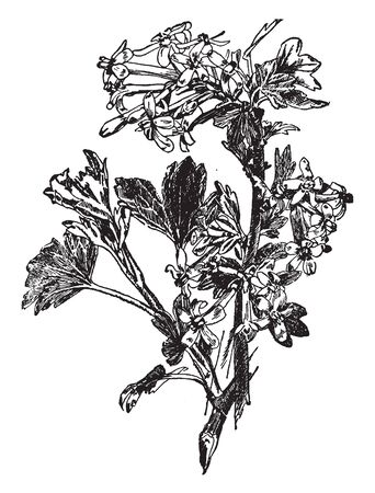 This image of a buffalo currant. The flower is small and yellow color. Stame are long and rounded, thin, vintage line drawing or engraving illustration.