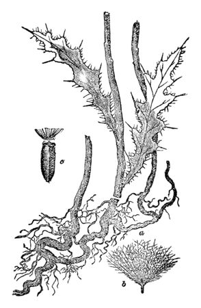 Canada thistle's roots spread aggressively, it increase widely. The leaves are thorny and long spread. The size of the flower head is big, vintage line drawing or engraving illustration.