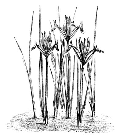 Narrow needle like leaves and flowers of the plant Iris Reticulata, vintage line drawing or engraving illustration. 向量圖像