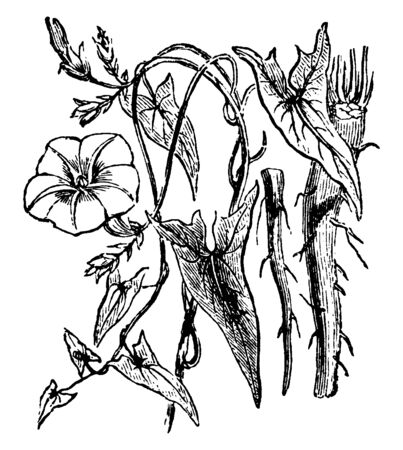 Picture shows the Scammony plant having irregularly arrow-shaped leaves and a thick fleshy root. It belongs to bindweed family, vintage line drawing or engraving illustration.