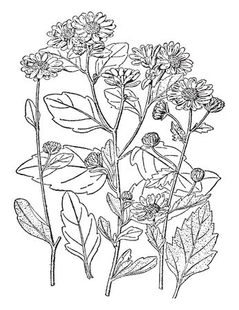 The image shows a Chrysanthemum morifolium. The plant is 30-90 centimeters high and wide. This plant can be noted for its popularity as an indoor houseplant. It has large leaves & flowers, vintage line drawing or engraving illustration.