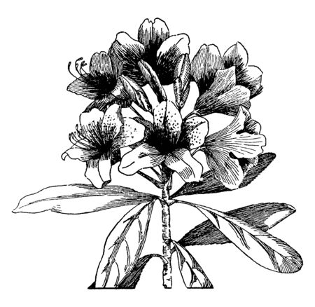 This pictures showing a rhododendron. The stems are thick and rounded. The each leaves growing separately. This is a flower bunch. This is from Ericaceae family, vintage line drawing or engraving illustration.