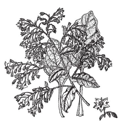 The Borago plant is densely flowers and leaves are spiny hairs. The plant leaves are alternate and elliptic ovate, vintage line drawing or engraving illustration.