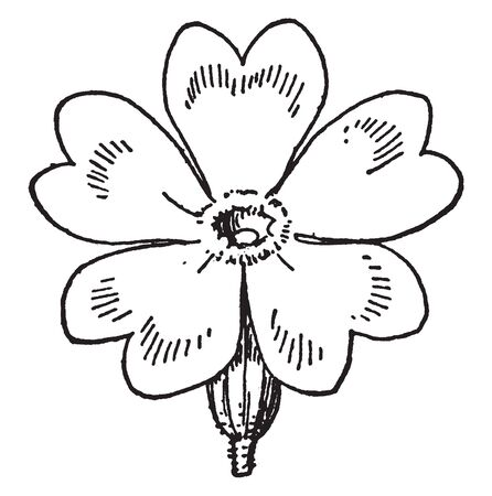 Flowering will be the first to come in the spring season in Europe. There are some delicate and thin hearts shaped petals, vintage line drawing or engraving illustration. Ilustrace