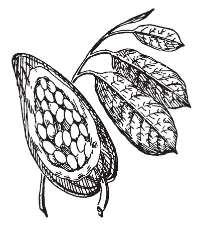 The cocoa also called cacao bean, Cocoa is the seed of the cacao tree, vintage line drawing or engraving illustration.