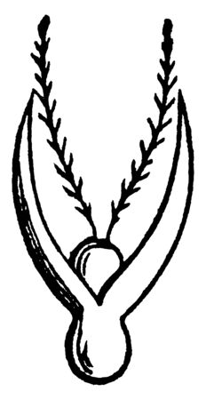 This is a flower of grass. Flower started to grow. The stigma is growing upper side of flower, vintage line drawing or engraving illustration.