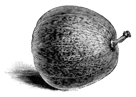 This is Nutmeg Gourd of Marseilles. This is rounded. It attached to stalk. Stalk is small. It is type of vegetable, vintage line drawing or engraving illustration.