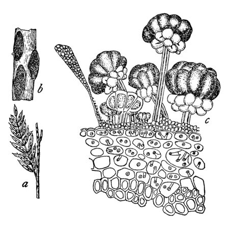 A picture showing different parts of Rust Fungus. These parts include Cassia, nictitans, parasite, Ravenelia, teleutospores, Uredinales, uredospores, etc, vintage line drawing or engraving illustration. Ilustração