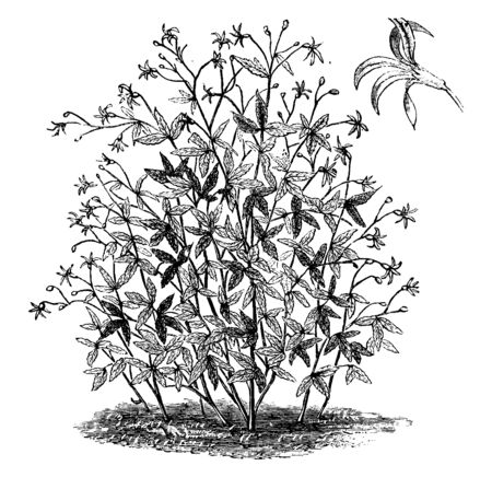 This picture is of a flower named Gillenia Trifoliata; it is from red to white in flower. Calyx turns red after falling petals, vintage line drawing or engraving illustration. Ilustração