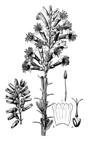 A picture of Candlewood plants consists of about a dozen stalks about an inch in diameter, nearly straight, and about 5 feet tall. The stalks are gray in color and armed with abundant spices, vintage line drawing or engraving illustration.