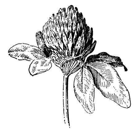 Flower of red clover plant, flowers are dark pink with a paler base, vintage line drawing or engraving illustration.
