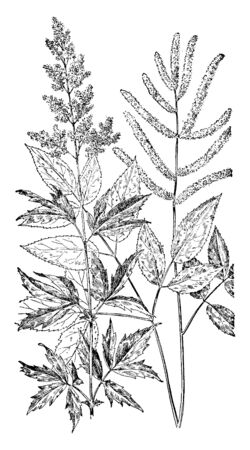 A picture, thats showing a Queen of the Prairie and Goats Beard. Stems are thin and long. Leaves are oval shaped, vintage line drawing or engraving illustration.