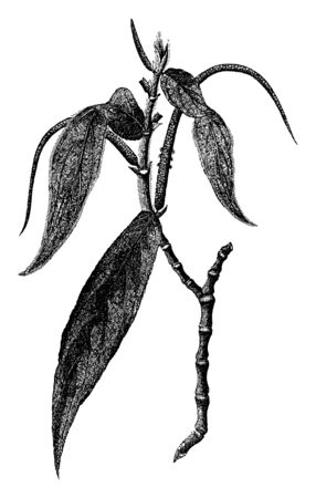 The picture of a Piper aduncum (pepper crop), known as matico in Peru and is also well known as Artanthe elongata, vintage line drawing or engraving illustration.