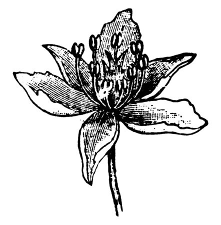 The flowering Rush is species in the Butomaceae family. Flowers have five ovate shaped petals, vintage line drawing or engraving illustration. Ilustração