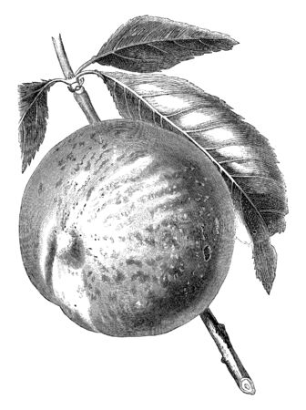 An image of a Late Admirable peach. The peach is a deciduous tree. It is mostly found in Northwest China between the Tarim Basin, vintage line drawing or engraving illustration. 일러스트