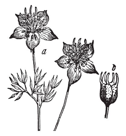 Flower and seed or fruit of cumin flowering plant, vintage line drawing or engraving illustration.