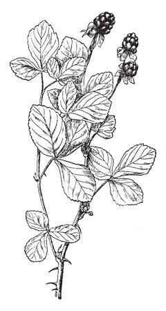 This is a flowering plant belongs to a rose family. Fruits are juicy and pulpy, vintage line drawing or engraving illustration.