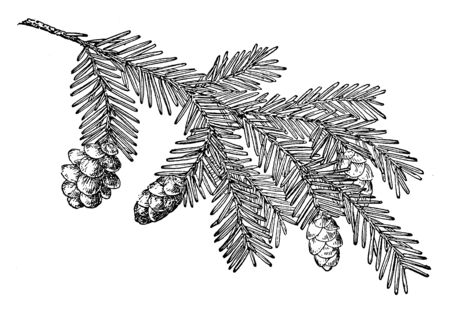 Pine cone of Western hemlock. It is a large tree usually grows 30 to 50 metres tall. It has a rather narrow crown and down-sweeping branches and delicate feathery foliage, vintage line drawing or engraving illustration. Illustration