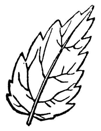 This is a serrated leaf. This leaf having a margin notched like a saw with teeth pointing toward the apex, vintage line drawing or engraving illustration.