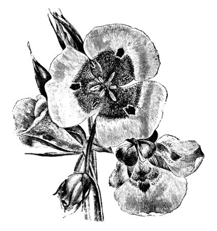 This is a picture of flowers and leaves of Calochortus Venustus. It has bell-shaped flowers with white to pale pink or purple to bright red or orange petals, vintage line drawing or engraving illustration.