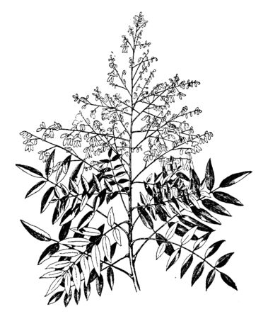 Sophora japonica is a genus of tree, also called Japanese pagoda tree or Chinese scholar tree, and is native to China and Korea. The leaves of the tree are dark green and flowers are white, vintage line drawing or engraving illustration.